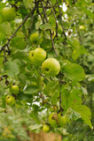 Πράσινο μήλο στον κλάδο Στοκ φωτογραφία με δικαίωμα ελεύθερης χρήσης