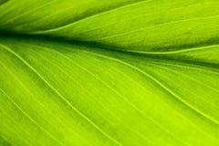 πράσινο μακρο πλάνο φύλλων Στοκ Φωτογραφία