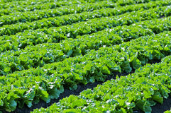 πράσινο μαρούλι φύλλων Στοκ εικόνα με δικαίωμα ελεύθερης χρήσης