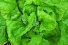 πράσινο μαρούλι Στοκ Φωτογραφίες