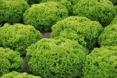 πράσινο μαρούλι Στοκ Φωτογραφία