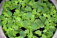 Πράσινο μαρούλι νερού Στοκ εικόνα με δικαίωμα ελεύθερης χρήσης