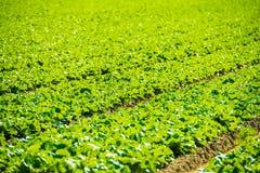 πράσινο μαρούλι πεδίων ανασκόπησης Στοκ φωτογραφία με δικαίωμα ελεύθερης χρήσης