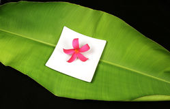 πράσινο μεγάλο plumeria φύλλων λουλουδιών τροπικό Στοκ εικόνα με δικαίωμα ελεύθερης χρήσης