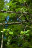πράσινο μικροσκοπικό δέντ&rh Στοκ Φωτογραφία