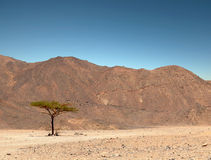 πράσινο μόνο δέντρο ερήμων Στοκ Εικόνα