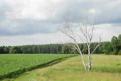 πράσινο μόνο θερινό δέντρο πεδίων καλαμποκιού Στοκ Φωτογραφία