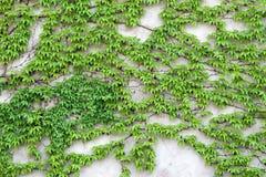 Πράσινο να αναπτύξει αναρριχητικών φυτών σε έναν τοίχο Στοκ φωτογραφία με δικαίωμα ελεύθερης χρήσης