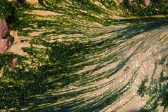 πράσινο να αναπτύξει ζιζάνιο θάλασσας Στοκ Φωτογραφία
