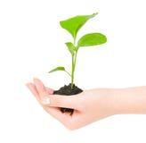 πράσινο να αναπτύξει φυτό χ&epsilo στοκ εικόνα