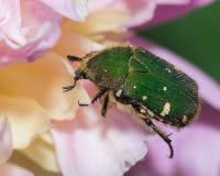 Πράσινο να ταΐσει κανθάρων με ένα λουλούδι Στοκ φωτογραφίες με δικαίωμα ελεύθερης χρήσης