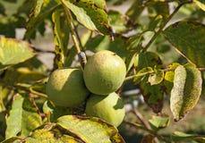 Πράσινο ξύλο καρυδιάς στο δέντρο το φθινόπωρο Στοκ φωτογραφία με δικαίωμα ελεύθερης χρήσης