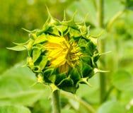 Πράσινο λουλούδι ενός ηλίανθου Στοκ φωτογραφίες με δικαίωμα ελεύθερης χρήσης