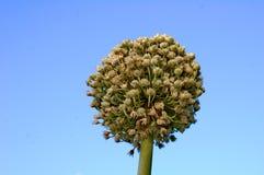 Πράσινο λουλούδι κρεμμυδιών Στοκ εικόνες με δικαίωμα ελεύθερης χρήσης