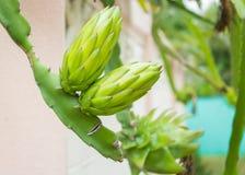 Πράσινο λουλούδι φρούτων δράκων Στοκ φωτογραφία με δικαίωμα ελεύθερης χρήσης