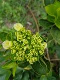 Πράσινο λουλούδι Στοκ Εικόνες