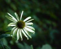 Πράσινο λουλούδι Στοκ εικόνες με δικαίωμα ελεύθερης χρήσης