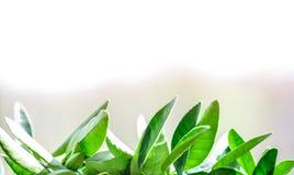 Πράσινο δοχείο λεμονιών φύλλων Στοκ Εικόνες