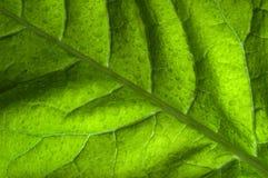 Πράσινο πίσω αναμμένο φύλλο Στοκ Φωτογραφίες
