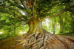 Πράσινο, παλαιό δέντρο Στοκ φωτογραφίες με δικαίωμα ελεύθερης χρήσης