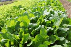 Πράσινο πεδίο λαχανικών στοκ φωτογραφίες με δικαίωμα ελεύθερης χρήσης