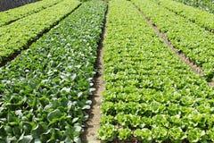 Πράσινο πεδίο λαχανικών στοκ εικόνα
