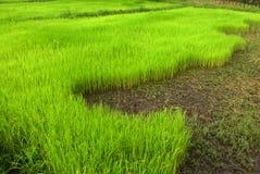 Πράσινο πεδίο ρυζιού Στοκ φωτογραφία με δικαίωμα ελεύθερης χρήσης