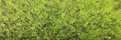 Πράσινο πεδίο χλόης Χλόη, πράσινο υπόβαθρο Φυσική πράσινη σύσταση χλόης, φυσικό πράσινο υπόβαθρο χλόης για το σχέδιο με το διάστη Στοκ Εικόνα