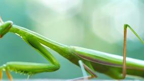 Πράσινο περπάτημα mantis κινηματογραφήσεων σε πρώτο πλάνο απόθεμα βίντεο