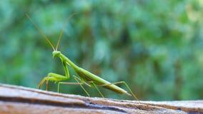 Πράσινο περπάτημα mantis κινηματογραφήσεων σε πρώτο πλάνο φιλμ μικρού μήκους