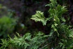 Πράσινο πεύκο - δέντρο Στοκ εικόνα με δικαίωμα ελεύθερης χρήσης