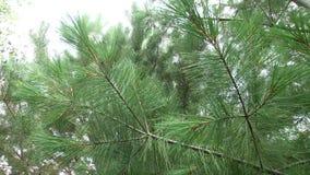 πράσινο πεύκο κλάδων Πράσινοι κλάδοι δέντρων ή πεύκων έλατου απόθεμα βίντεο