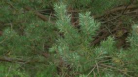 πράσινο πεύκο κλάδων απόθεμα βίντεο