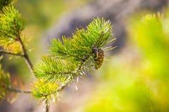 πράσινο πεύκο κλάδων Στοκ φωτογραφίες με δικαίωμα ελεύθερης χρήσης