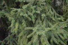 πράσινο πεύκο κλάδων Στοκ φωτογραφία με δικαίωμα ελεύθερης χρήσης