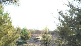 Πράσινο πεύκο με τα μμένα δέντρα στο υπόβαθρο, δάσος μετά από την πυρκαγιά, καταστροφή φύσης, επικίνδυνη έλξη, οικολογία απόθεμα βίντεο