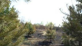 Πράσινο πεύκο με τα μμένα δέντρα στο υπόβαθρο, δάσος μετά από την πυρκαγιά, καταστροφή φύσης, επικίνδυνη έλξη, οικολογία φιλμ μικρού μήκους