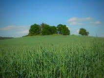Πράσινο πεδίο κριθαριού Στοκ Εικόνες