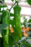 Πράσινο πιπέρι στο θάμνο στη φύση Στοκ Εικόνες