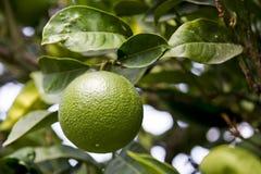 πράσινο πορτοκάλι Στοκ Φωτογραφία