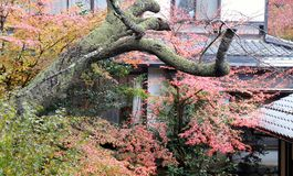 Πράσινο πορτοκαλί και κόκκινο ιαπωνικό φύλλο σφενδάμου στο δέντρο μετά από τη βροχή και ο κορμός δέντρων με το βρύο λειχήνων Στοκ φωτογραφία με δικαίωμα ελεύθερης χρήσης