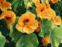 Πράσινο πορτοκαλί λουλούδι αμπέλων Στοκ φωτογραφίες με δικαίωμα ελεύθερης χρήσης