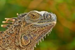 πράσινο πορτρέτο iguana Στοκ Εικόνες