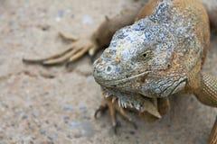 πράσινο πορτρέτο iguana Στοκ εικόνα με δικαίωμα ελεύθερης χρήσης