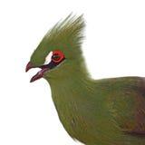 Πράσινο πουλί Turaco Στοκ φωτογραφία με δικαίωμα ελεύθερης χρήσης