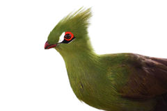 Πράσινο πουλί Turaco Στοκ εικόνες με δικαίωμα ελεύθερης χρήσης
