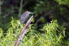 Πράσινο πουλί ερωδιών, Butorides virescens, Γεωργία ΗΠΑ Στοκ Εικόνες