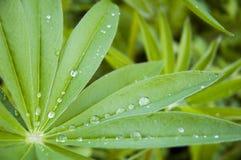 πράσινο πρωί φύλλων δροσιά&sigma Στοκ εικόνες με δικαίωμα ελεύθερης χρήσης