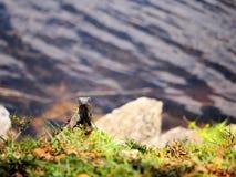 Πράσινο πρόσωπο Iguana Στοκ εικόνες με δικαίωμα ελεύθερης χρήσης