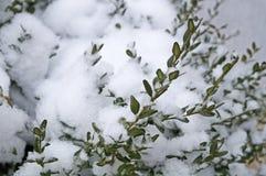 Πράσινο πυξάρι που καλύπτεται με το άσπρο χιόνι Στοκ φωτογραφία με δικαίωμα ελεύθερης χρήσης